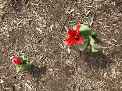 picture of tulips sprouting
